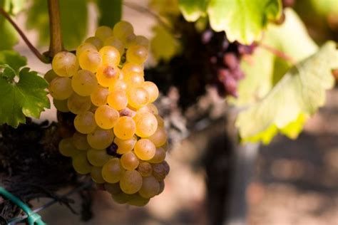 Furmint 'the next great white variety'