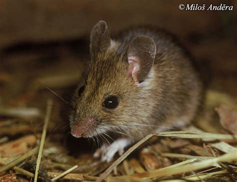 Image - Apodemus sylvaticus (Long-tailed Field Mouse