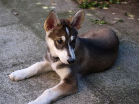 Pure bred Northern Inuit Puppy   Grantham, Lincolnshire