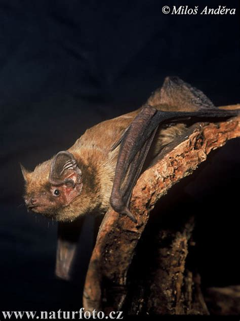 Nyctalus leisleri Pictures, Hairy-armed Bat Images, Nature