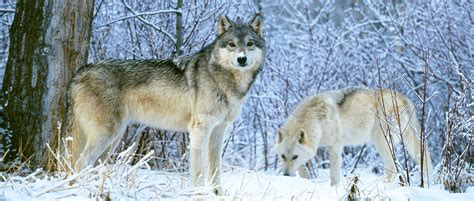 Wildlifers Help Develop a Center for Wolf Research and