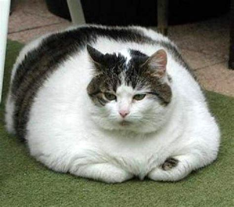 BEST PHOTO CAT, funny, ugly, big, little, tiny, CHAT moche