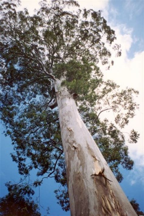 Largest Eucalyptus Deanei In US Faces A Chain Saw In Santa
