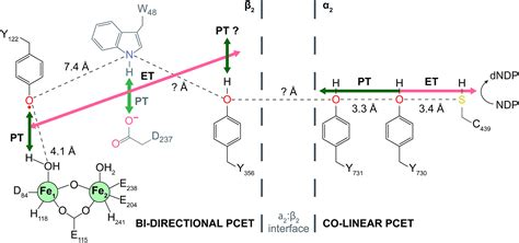 Direct interfacial Y 731 oxidation in α 2 by a photoβ 2