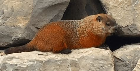 Quebec's groundhog Fred la marmotte predicts spring is on