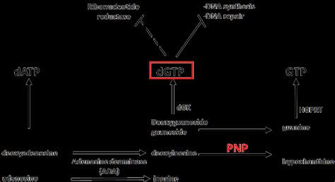 PNP in the degradation and salvage pathways of purine
